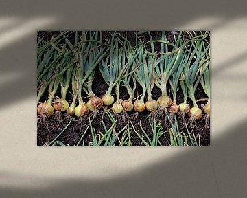 Zwiebeln aus Holland von Annelies Schreuder