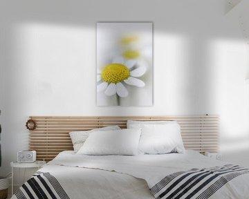 Kamille (Blume, gelb, licht, Sommer) von Bob Daalder