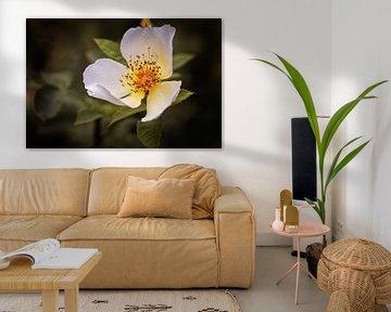 Wildrose von Rob Boon