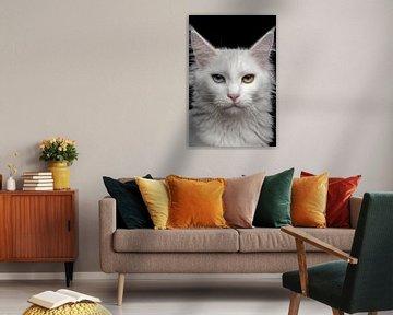 Gros plan d'un chat Maine Coon sur Nikki IJsendoorn