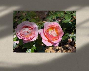 Rosa Blumen von Yannick uit den Boogaard