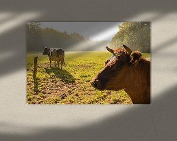 Hollandse lakenvelder koeien in de wei tijdens zonsopkomst in de herfst van Sjoerd van der Wal