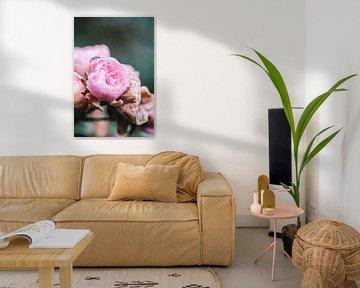 Rosa Rosen im Morgentau von Lindy Schenk-Smit
