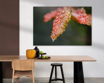 Rotes Herbstlaub mit Regentropfen, Makrofotografie von Lindy Schenk-Smit