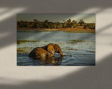 Zwemende olifant van Nico  Calandra