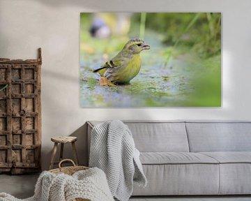 Gelbhammer von Karin van Rooijen Fotografie