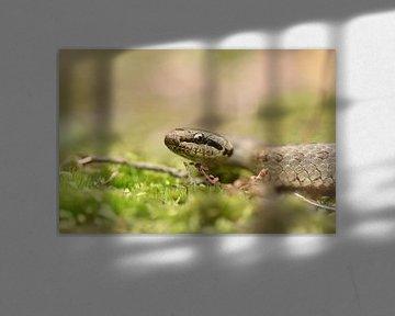 Serpent lisse (Coronella austriaca) sur Frank Heinen