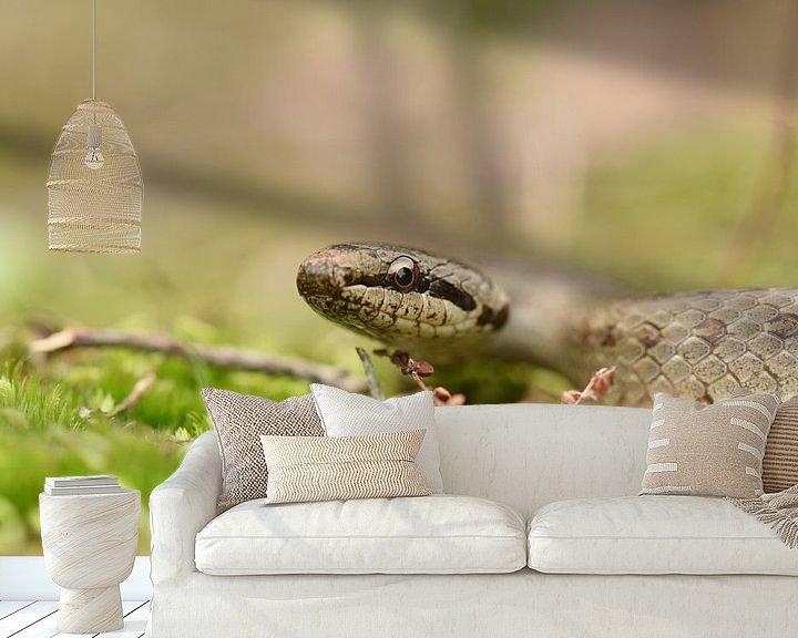 Beispiel fototapete: Schlingnatter (Coronella austriaca) von Frank Heinen