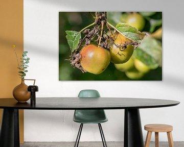 Pommes dans un arbre aux feuilles fanées sur Paul Veen