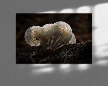 Porseleinzwam in tegenlicht van Leo Kramp Fotografie