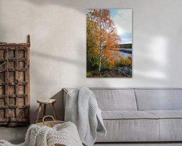 Berkenboom op een oever in de Zweedse wildernis van Thomas Zacharias