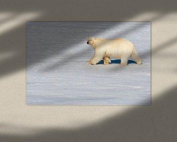 IJsbeer lopend op het pakijs van Beschermingswerk voor aan uw muur
