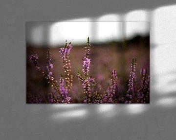 Paarse heide in bloei van Jaleesa Koelen