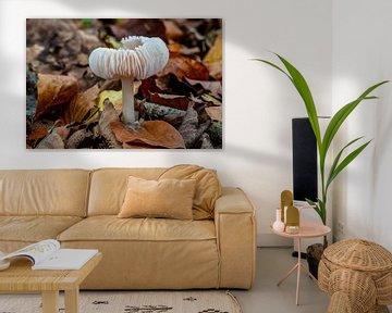 Rustgevend wit paddenstoeltje van Rob Smit