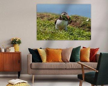 Papageientaucher mit Gras von Hans Hoekstra