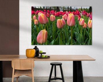 rosa-rote Tulpen auf den Blumenzwiebelfeldern im Küchenhof von ChrisWillemsen