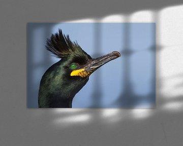 Kuifaalscholver (Phalacrocorax aristotelis aristotelis) van Beschermingswerk voor aan uw muur