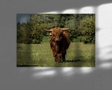 In de vrije natuur de Schotse Hooglanders van Irma Huisman