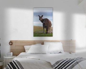 Graues Riesenkänguru (Macropus giganteus)