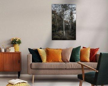 Birken im Herbst von Patrick Rosenthal