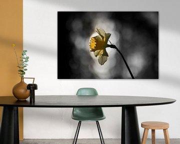 Narzisse mit Hintergrundbeleuchtung von Cor de Hamer