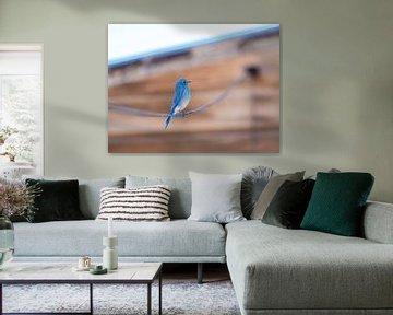 L'oiseau bleu (Bergsialia ?) sur Rutger van Loo