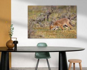 Junger Fuchs sucht Futter von Joop Zandbergen