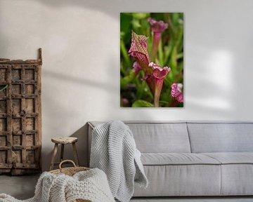 Vleesetende plant: Trompetbekerplant, Sarracenia. van Tessa Louwerens