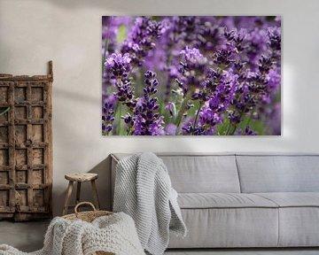 Lavendelveld van Tessa Louwerens
