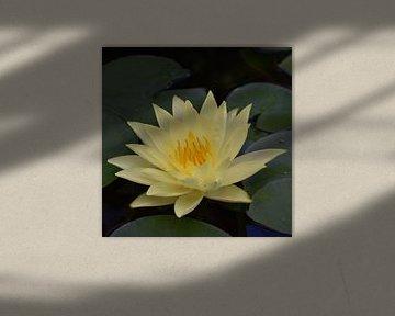 Hellgelbe Seerose von Elke Dag Een Foto