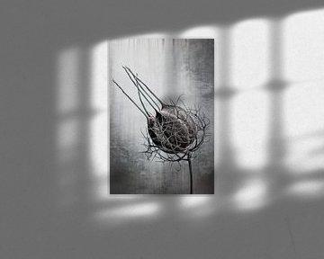 Nigella Damascena von Christophe Fruyt