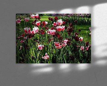 Tulpen von Norbert Sülzner