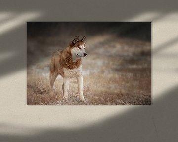 Husky sibérien sur Petra Lakerveld