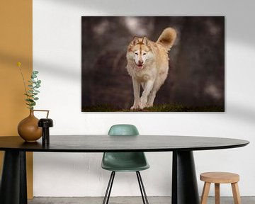Sibirischer Husky Nanook von Petra Lakerveld