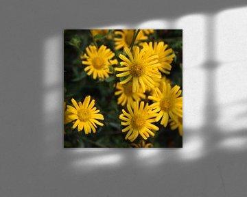 Die Doronicum orientale (gelbe Blüten) von Elke Dag Een Foto