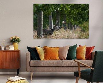 Zwei Nandus oder Größere Rhea (Rhea americana), die durch eine Baumreihe auf ein Feld blicken, seit