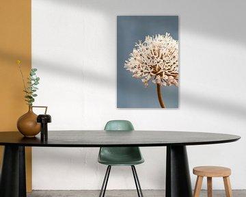 Allium soft grey