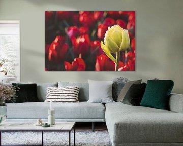 Witte tulp in een veld vol rode tulpen van Marjolijn Maljaars