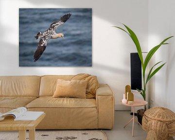 Brown Gannet bird van Vincent Willems