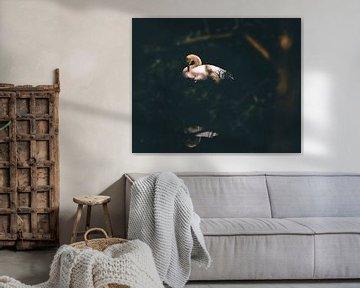 Zwanenmoeder ontwaakt aan het water