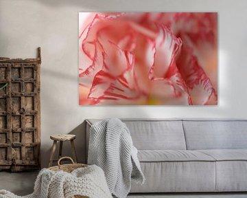 Weiße Nelke mit rotem Rand von Barbara Brolsma