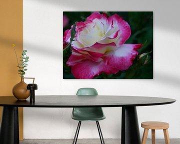Cherry Parfait Rose von Christiane Schulze