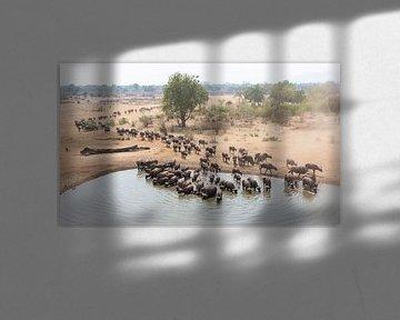Grote kudde drinkende buffels van Anja Brouwer Fotografie