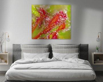 Roter Sonnentau (Sonnentau mit Tropfen) von Caroline Lichthart