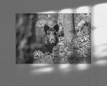 Wildschwein in B&W von Kelly Kutterik Photography