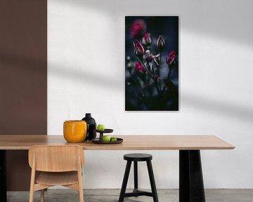 rozen in de knop van AciPhotography