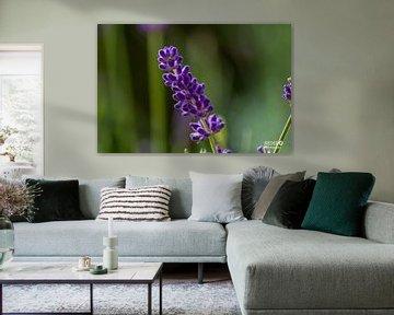 Lavendel von Gabriella Sidiropoulos