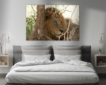 Löwe in Südafrika von Johnno de Jong