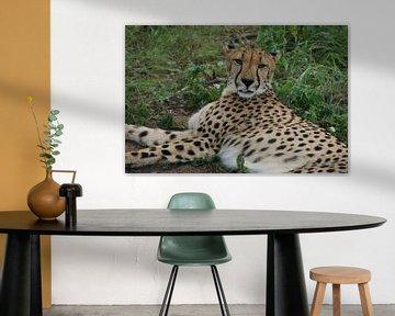 im Gras liegender Gepard von Johnno de Jong
