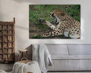Im Gras gähnender Gepard von Johnno de Jong
